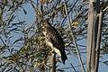 Ferruginous hawk farmington bay utah (15520620542).jpg