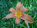 Feuerlilien in der Irlacher Au (5).jpg