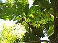 Ficus dammaropsis Diels (AM AK289874-2).jpg