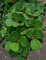 Ficus deltoidea kz2.JPG