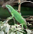 Fidschileguan Brachylophus fasciatus Zoo Augsburg-01.jpg