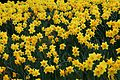 Field-yellow-daffodil-flowers - West Virginia - ForestWander.jpg