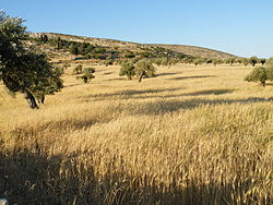The golden fields of Yanoun in May