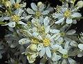 Filipendula vulgaris 2016-05-31 1913.jpg