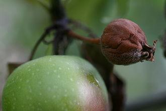 Blight - Image: Fire blight appletree fruit closeup