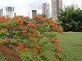 Flamboyant - panoramio (1).jpg