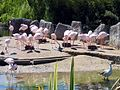 Flamingoes & upland goose.jpg