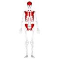 Flat bones - anterior view.png