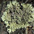 Flavopunctelia-like lichen - Flickr - pellaea (1).jpg