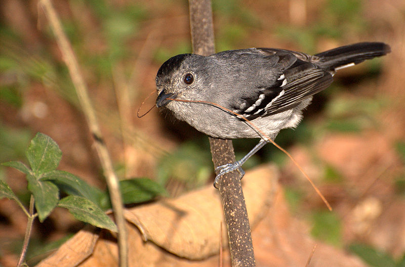 Ficheiro:Flickr - Dario Sanches - CHOCA-DA-MATA macho (Thamnophilus caerulescens).jpg