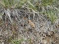 Flickr - brewbooks - Short-Horned Lizard - Umtanum Ridge hike.jpg