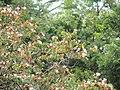 Flores. - panoramio (1).jpg
