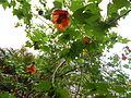 Flores Bocabajo 02.JPG