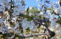 Flors de cirerer, la Vall de Gallinera.JPG