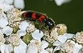Flower beetle (3710047252).jpg