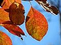Flowering Dogwood (30837024006).jpg
