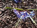 Flowering plant (Hyacinthaceae) Stafford UK.jpg