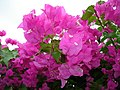 Flowers,garden,aliyar,tamilnadu - panoramio.jpg