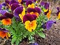 Flowers - (PL) Bratek (16992513988).jpg