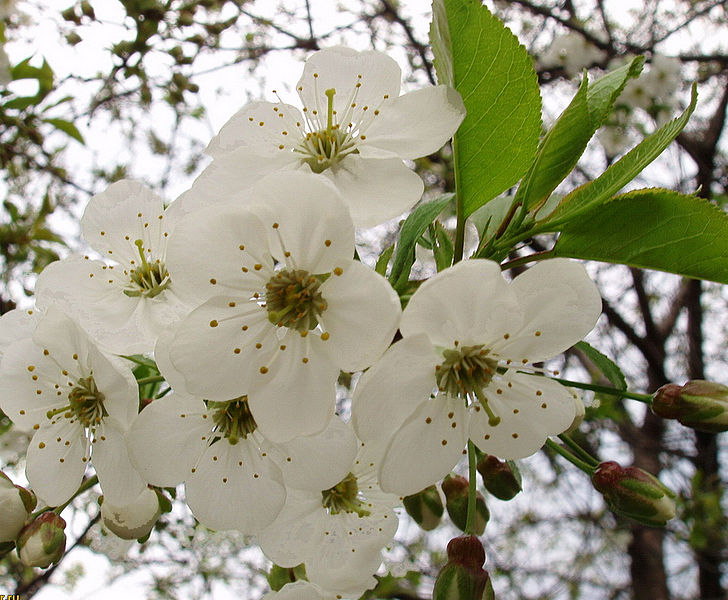 File:Flowers of Pear Tree.jpg