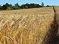 Footpath through barley, Brightwalton - geograph.org.uk - 887796.jpg