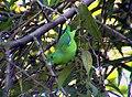 Forpus xanthopterygius -Brazil-3.jpg