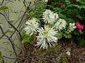 Fothergilla gardenii (Kowal garden).jpg