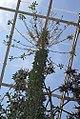 Fouquieria columnaris 1zz.jpg