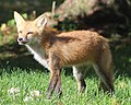Fox in my Backyard.jpg