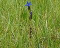 Frühlings-Enzian, vollständig unter Naturschutz, Oberschütt, Villach, Kärnten 12.jpg