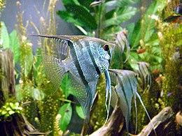 Freshwater angelfish biodome