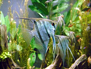 """Common freshwater angelfish,<br class=""""prcLst"""" /><em><a href=""""http://search.lycos.com/web/?_z=0&q=%22Pterophyllum%20scalare%22"""">Pterophyllum scalare</a></em>"""
