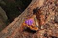 Freyer's Purple Emperor (9656621816).jpg