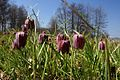 Fritillaria meleagris PID1754-1.jpg