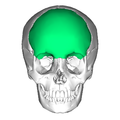 frontal bone - wikipedia, Human Body