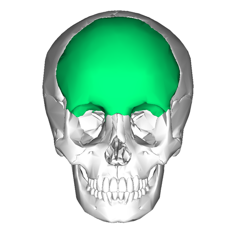 Filefrontal Bone Anteriorg Wikimedia Commons