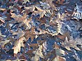 Frozen Oak Leaves 1.jpg