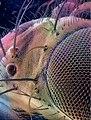 Fruit fly on scanning electron microscope.jpg