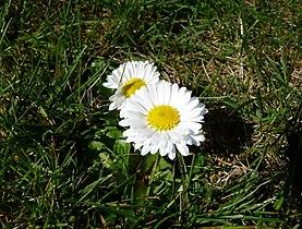 Gänseblümchen NRW.jpg