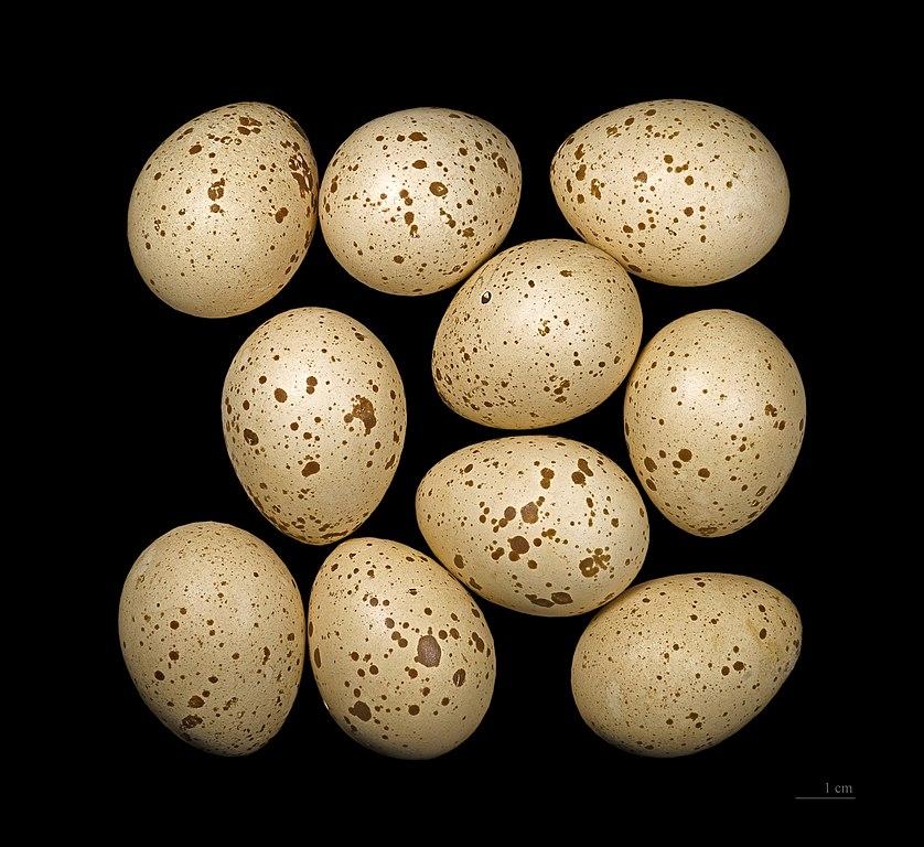 Jariabok lesný - vajíčka