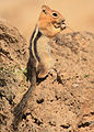 GM Ground Squirrel 4 wray (8271892085).jpg