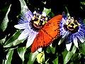GWH Fritillary Passion Flower22.jpg