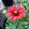 Gaillardia-arizona-red-shades-IMG 9144.jpg