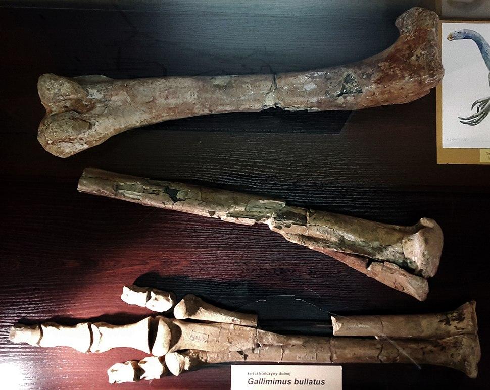 Gallimimus bullatus leg bones