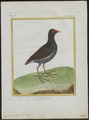 Gallinula chloropus - 1700-1880 - Print - Iconographia Zoologica - Special Collections University of Amsterdam - UBA01 IZ17500191.tif