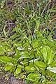 Gamochaeta coarctata (Willd.) Kerguelen (AM AK296610).jpg