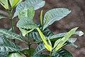 Gardenia tubifera 0zz.jpg