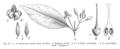 Gardneria spp EP-IV2-022.png