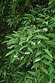 Geitonoplesium cymosum kz04.jpg