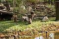 Gelsenkirchen - Zoom - Asien - Macaca nemestrina 02 ies.jpg